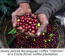 Nicaraguan Coffee Cherries
