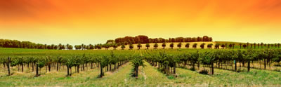 The Syrah Grape is called Shiraz down under